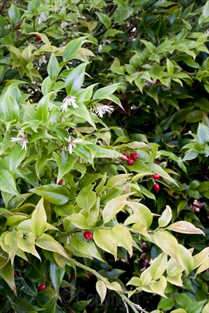 Evergreen and red berries 01
